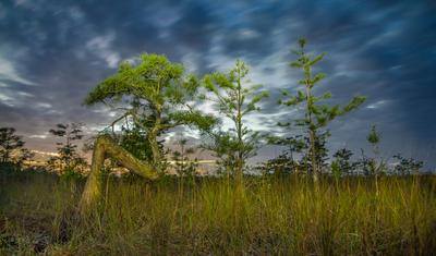 Everglades National Park Z Tree