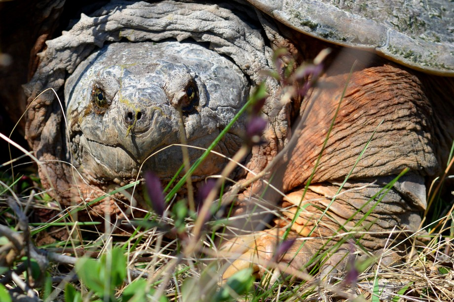 I got down on the ground to get a shot of this huge snapping turtle.  I also was impressed by his...
