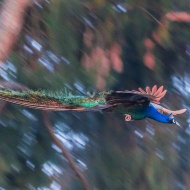 Peacock flying down from a tree before sunrise.