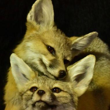 DSC_0064 fox pups