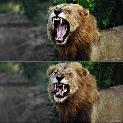 Love these two shots that I got of this beautiful male lion