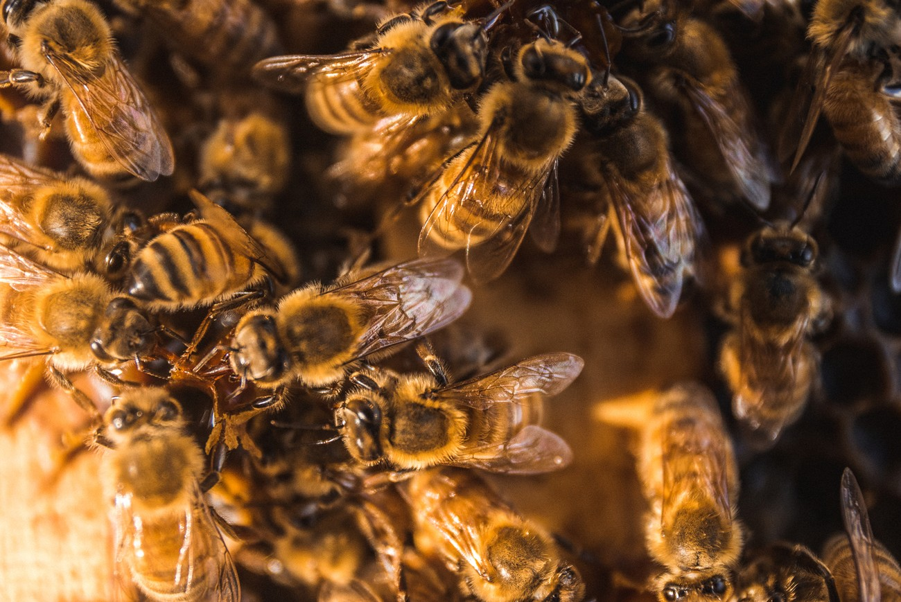 New Zealand has 28 native and 13 introduced species of bee.