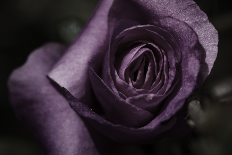 This started as a simple image of a rose from my garden and turned into a somewhat romanticised c...