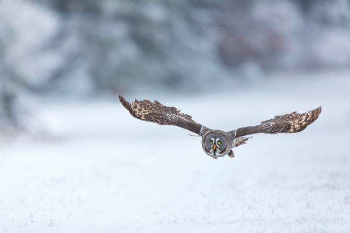 Great grey owl by vladcech - Social Exposure Photo Contest Vol 16