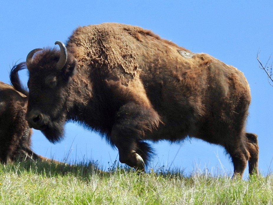 A bison on Catalina Island