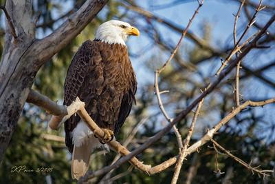 A Trip To The Zoo - Bald Eagle