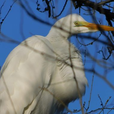 One sighting of a Great Egret in A Tree