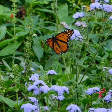Monarch Butterfly and flowers at Ted Ensley Gardens