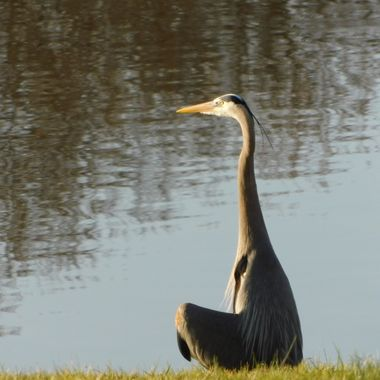 Great Blue Heron enjoying the sunshine.