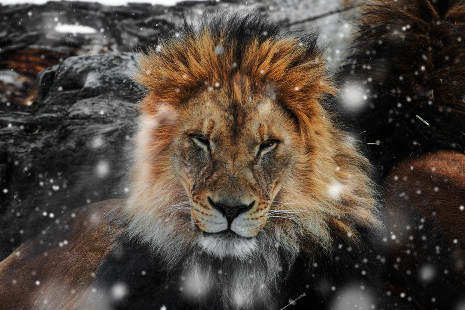 During a trip to a local animal sanctuary, it began to snow quite heavily. The lions, instead of ...