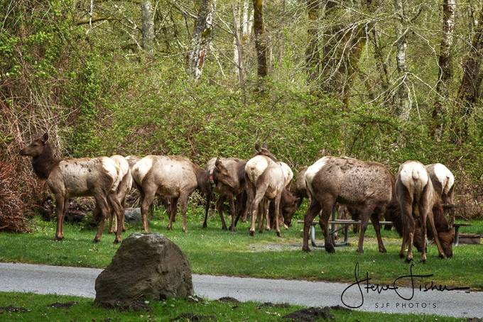 This Elk Herd was hanging out at Dosewallips State Park, Brinnon WA