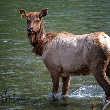 This Elk was crossing the Dosewallips River at DosewallipsState Park, Brinnon WA