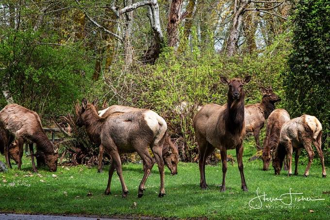 Group of elk were grazing except this one glaming for a photo at DosewallipsState Park, Brinnon WA