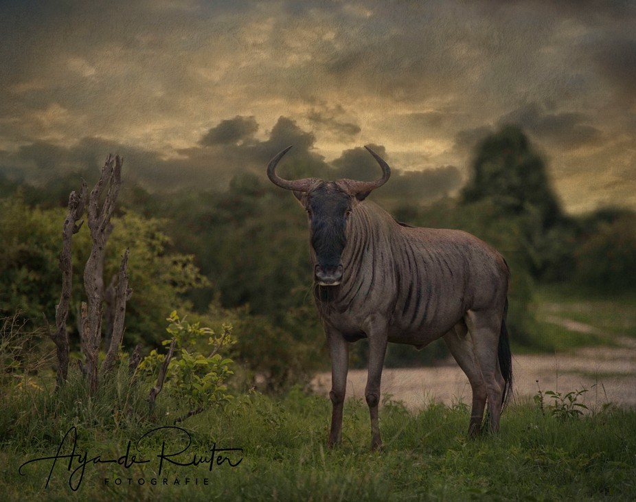 "Male wildebeest are also known as ""clowns of savanna"" because of the weird beha..."