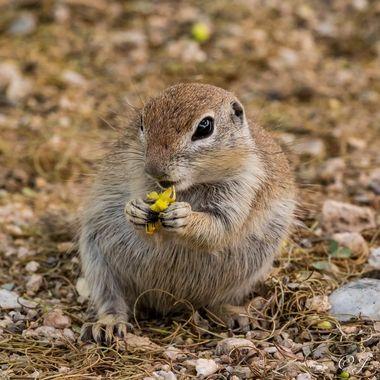 Desert Squirrel Having Lunch