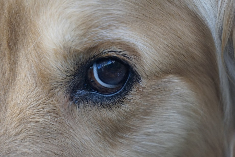 My dog Shelbie, giving me a rare opportunity to photograph her face, especially her eye, where he...