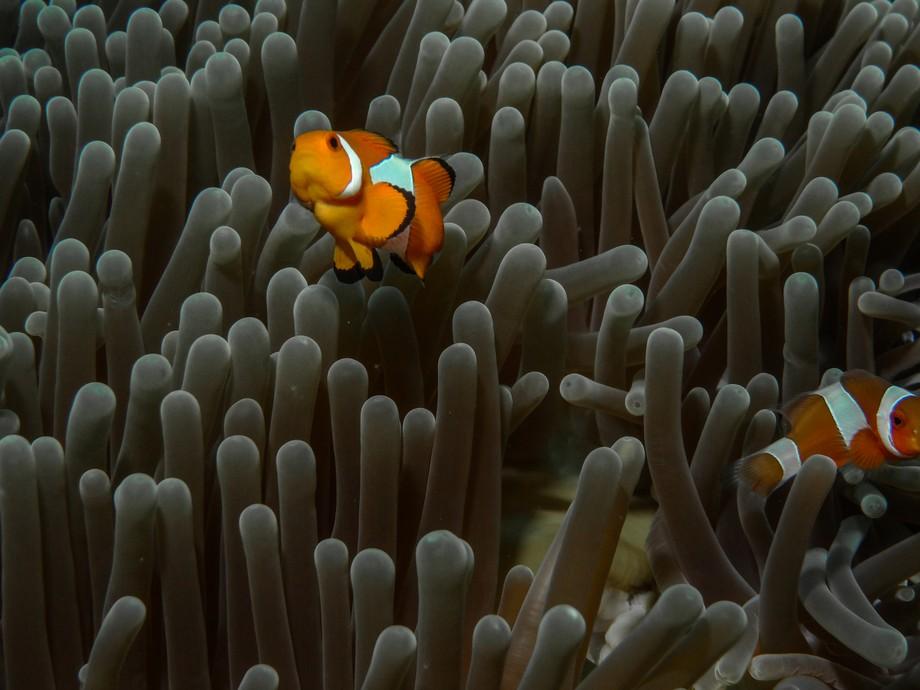 Clownfish - Komodo, Indonesia.