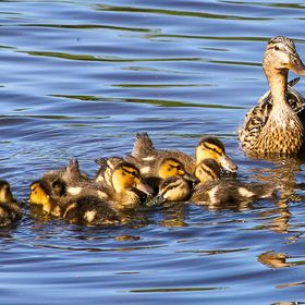 Mother duck and ducklings in Swan lake, Sumter, SC