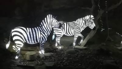 10 Giant Zebra lanterns Edinburgh Zoo Edinburgh Scotland UK