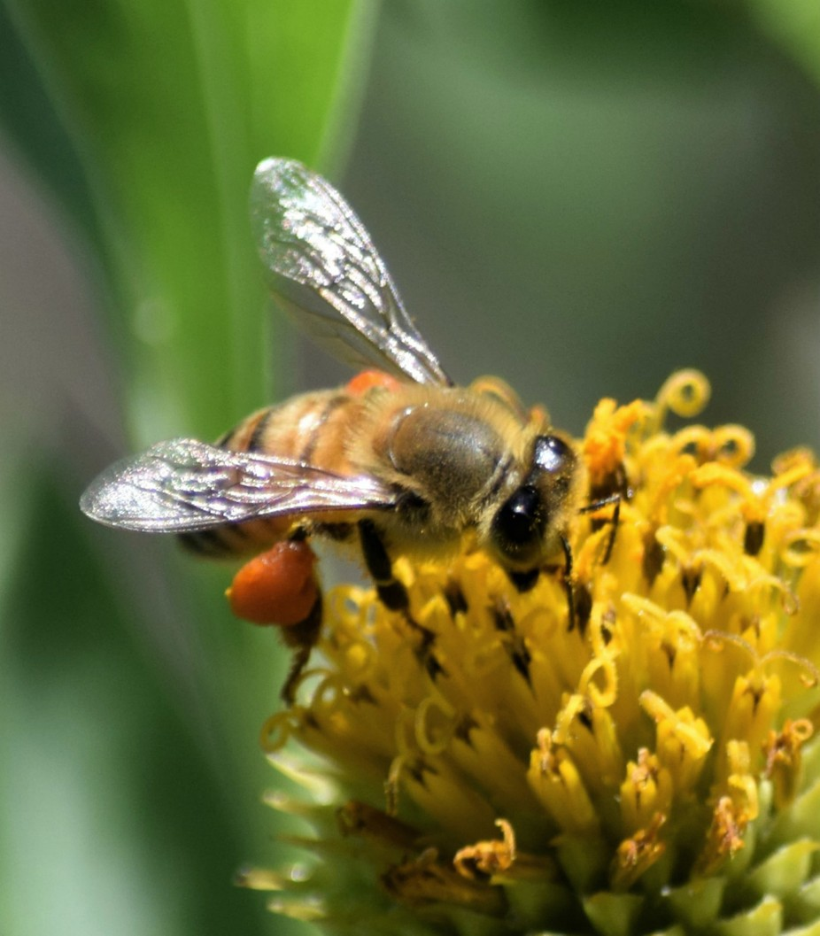 Very cute bee with huge eyes