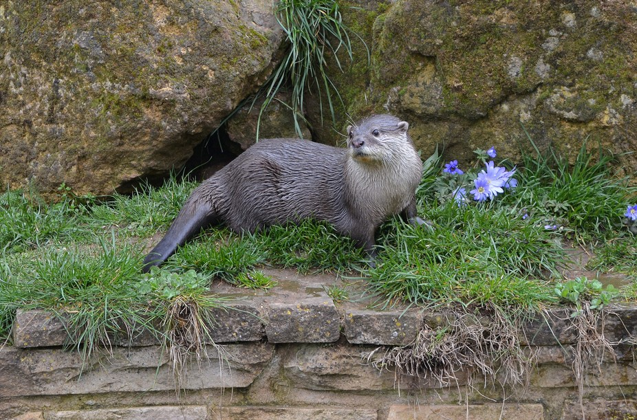 Male Otter waiting for dinner