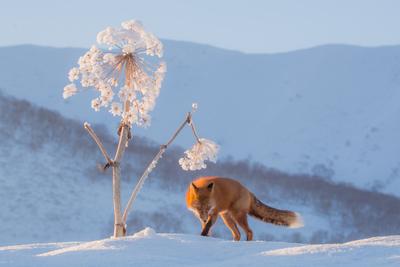 snow dandelion