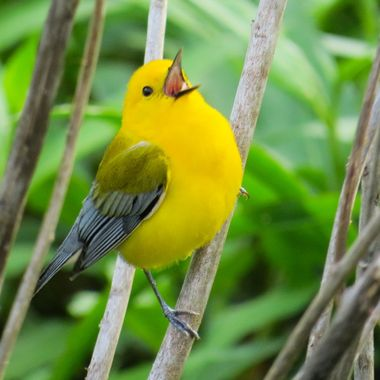 Prothonotary Warbler - Potomac, MD - MG_3490-2