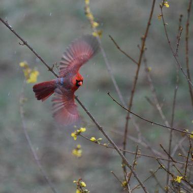 Male Cardinal - Spring, Darnestown, MD - DSC_0812-2