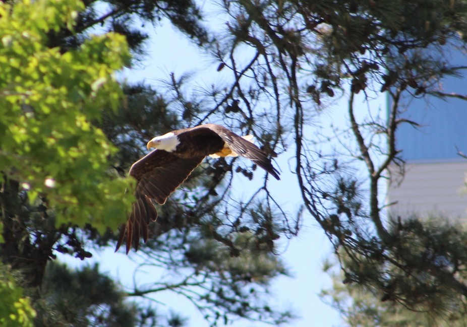 I captured this photo today at the park.  My first eagle to photograph.