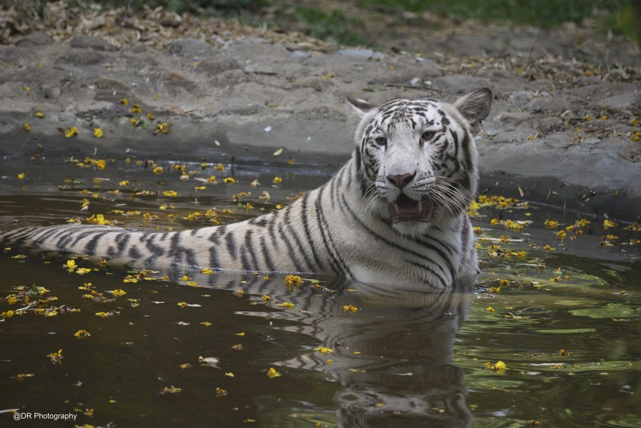 White Tiger Refreshing in pool on sunny sunday @ Bannerghatta National Park..  #animals #nature