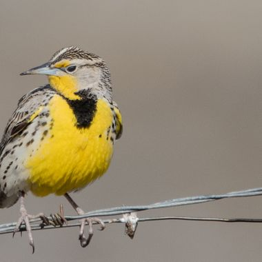 Meadowlark on a Wire