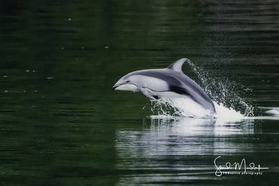 """""""Flying - Pacific Whitesided Dolphin"""""""