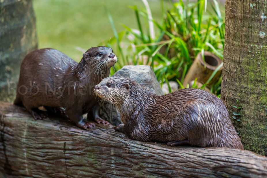 Asian small clawed otters at Australia Zoo, Queensland, Australia.