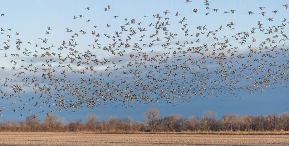 Spring migration of Sandhill Cranes in south central Nebraska.
