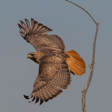 Red-Tailed Hawk-1124