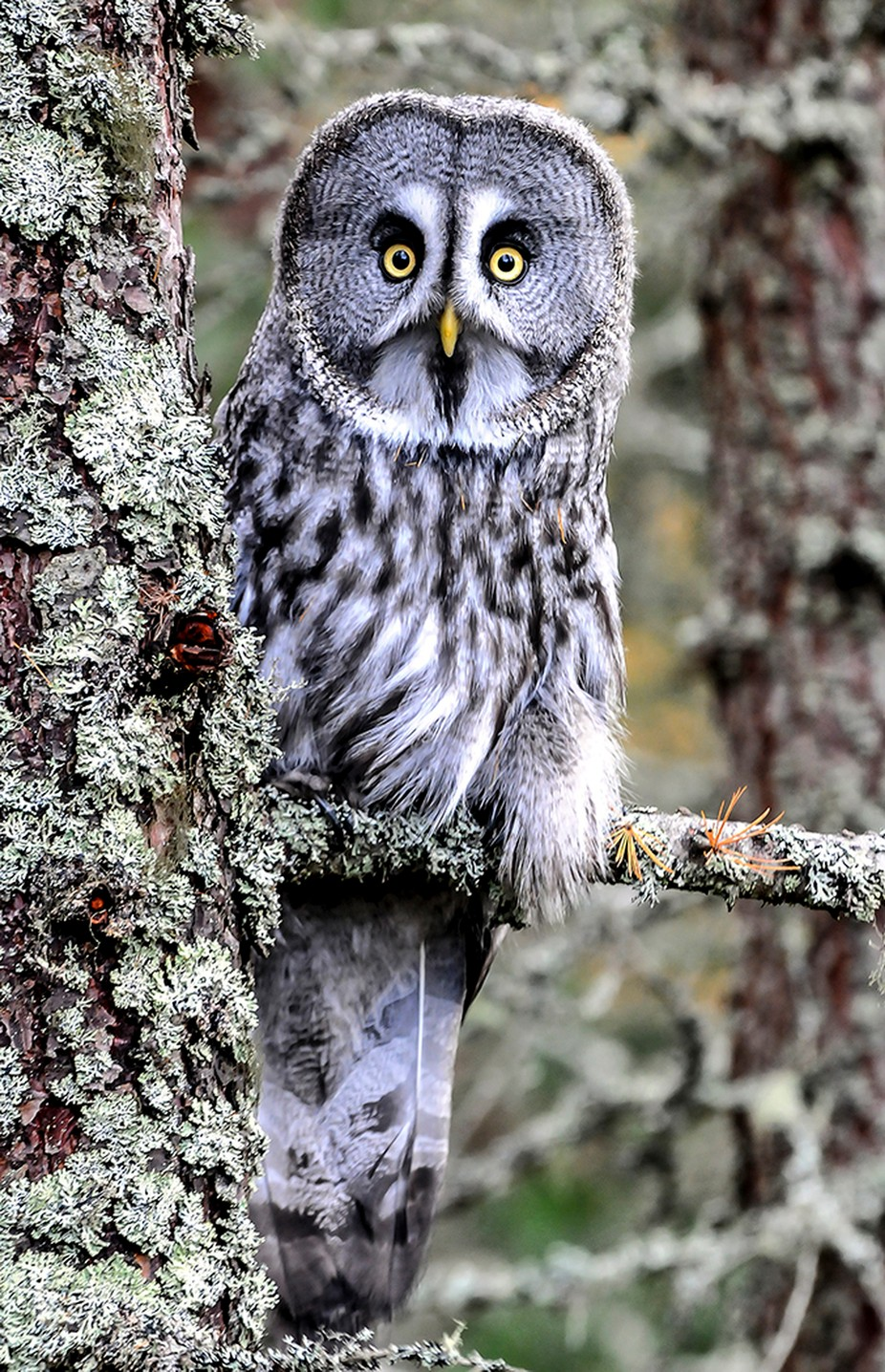 GREAT GREY OWL, by MINFFORDD - Beautiful Owls Photo Contest