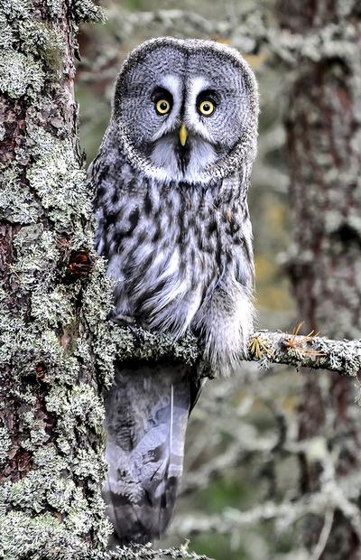 GREAT GREY OWL,