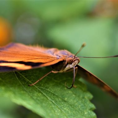 Loved taking butterfly captures at St Andrews Botanical gardens this orange beauty  had a gorgeous lovely fluffy down :)