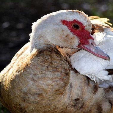 Female Muscovy Duck