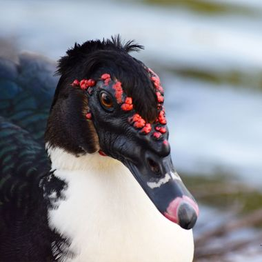 Muscovy Being Nosey