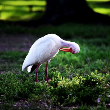 Ibis Itch