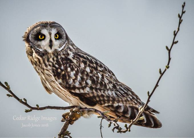 Short-eared owl by Jake_cedarridgeimages - Beautiful Owls Photo Contest