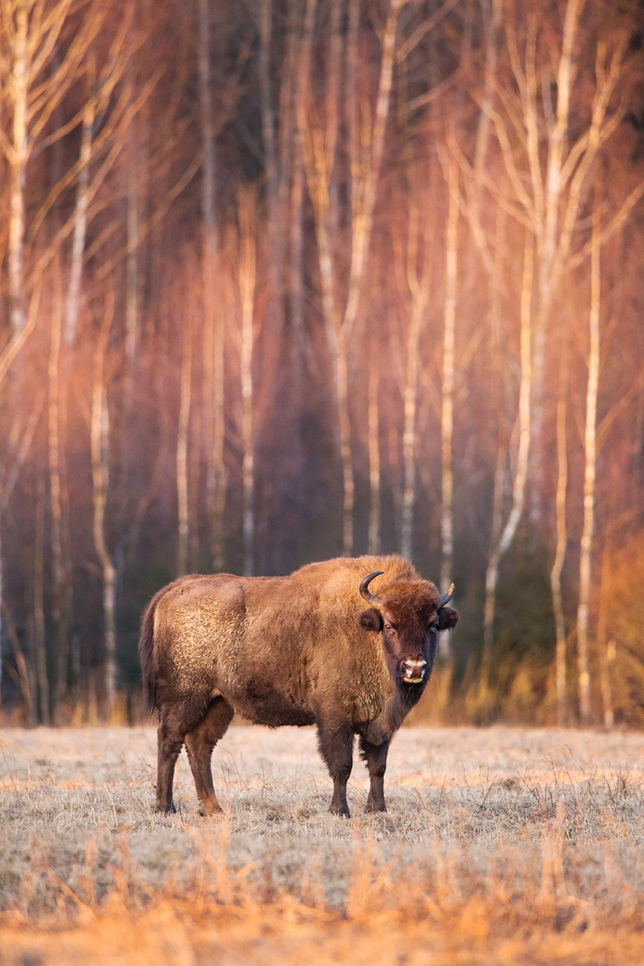 Bison in the rays of dawn by pavelmartsinchyk - Image Of The Month Photo Contest Vol 32