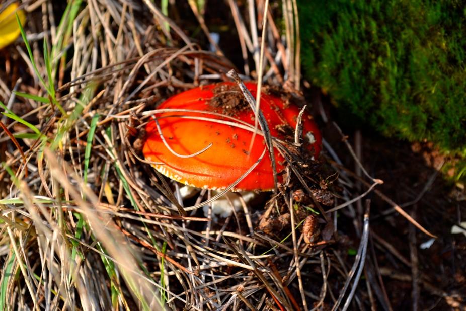 Hongo color Naranja