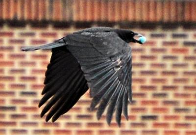 Flight of the Egg Thief