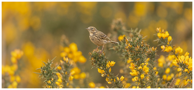 Meadow Pipit In A Panoramic View