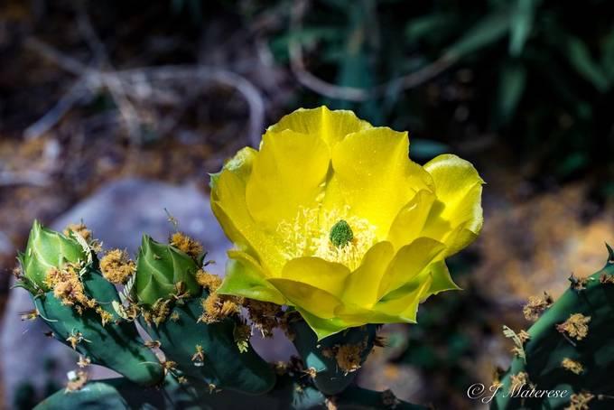 Cactus Blooming-2