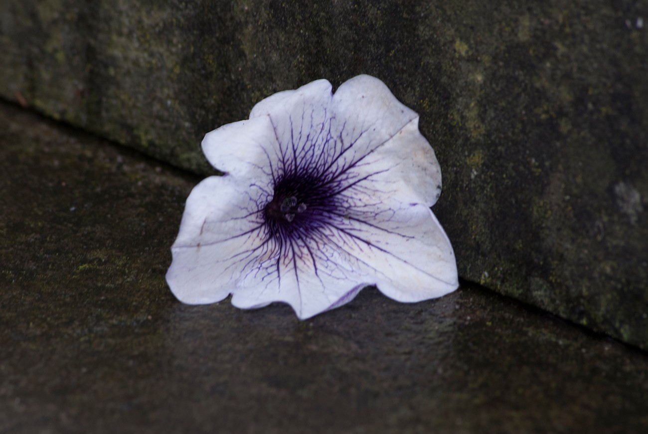 The petunia head had dropped from a bride's bouquet as she walked quickly in the rain up the steps to her reception