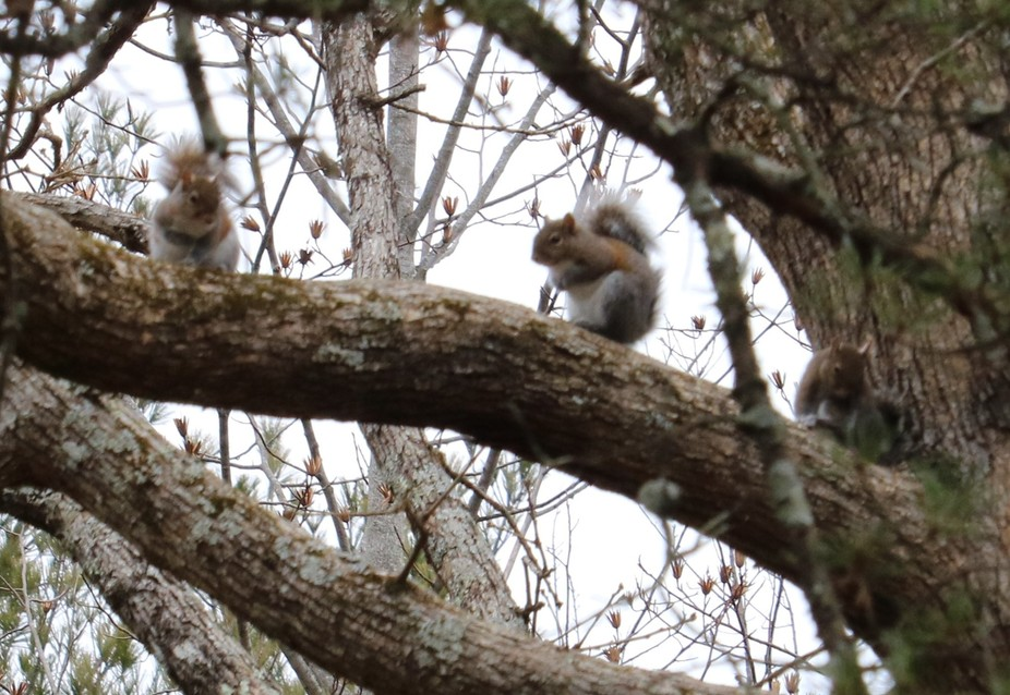 3-Squirrel