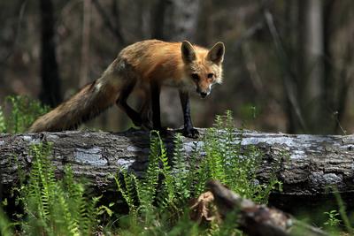 Fox on a Fallen Tree